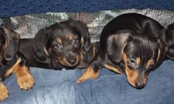 2 females (1 on hold)  and 1 male ( male is long hair), READY NOW, or can hold to Christmas.  They are raised underfoot in my home with much love from our 4 children.  My miniature doxie's (dachshunds) have wonderful temperaments and are a joy to own,