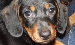 ONLY 2 FEMALE LEFT!!! READY NOW, or can hold to Christmas.  OPEN TO OFFERS! They are raised underfoot in my home with much love from our 4 children.  My miniature doxie's (dachshunds) have wonderful temperaments and are a joy to own, they have had  their