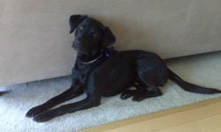 """Black lab, 40 pounds, has a chock collar with a pink bow Female, named """"Callie"""" Hespeler - Kerwood/Marcy cres area PLEASE CALL 519 260 0758"""