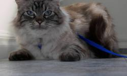 Lola has been missing since September 12, 2011 and was last seen in the Arkell area in Whitehorse, Yukon.  She is a 5 year old medium, long-haired, tan/white Siamese/Tabby Cross with blue eyes and a white belly.  She has no collar or tags, but is