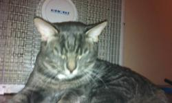 I am wondering if anyone has seen a male tabby cat in the area he is grey with stripes and goes by the name moses, he escaped out of a window last night during my sleep, i am hoping he turns up home soon but i am very worried about him. If you see him in