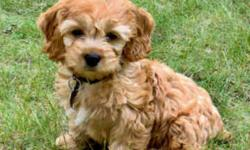 Years of experience and our passion for our dogs is evident in the love and care they receive as members of our family and in the exceptional puppies they produce.If you are looking for a tiny, non-shedding, highly intelligent and loyal companion then