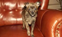 Just one puppy left! Adorable Pomeranian/Terripoo Girl. Very striking and rare Brindle Color. Approx 8 pounds full grown.    Vaccinated not just once but TWICE, De-wormed, Health Guaranteed, Food/Toy Samples and her Health Documents.  Since she has