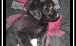 LOVEABLE F1 Male Medium Labradoodle Puppy  ~ we have adorable F1 medium labradoodle puppies that are NOW READY TO ADOPT!!  ~ he has had his shots, is vet-checked, dewormed, & micro-chipped  ~ mother is a 50 lb chocolate lab  ~ father is a 23lb cream
