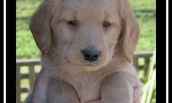 LOVEABLE F1 Medium Labradoodle Puppies  ~ we have adorable F1 medium labradoodle puppies that are NOW READY TO ADOPT!!  ~ puppies come with shots, are vet-checked, dewormed, & micro-chipped  ~ mother is a purebred 50 lb chocolate lab  ~ father is a