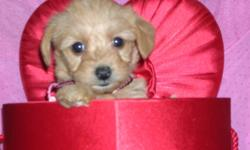 LOVELY YORKIEPOO PUPPIES     HOME RAISED VERY FRIENDLY , LOVE TO PLAY GREAT WITH ANY AGE AND WILL MAKE A PERFECT  FAMILY PET .     VET CHECKED  HAVE ALL THEIR SHOTS DEWORMED   MOTHER : TOY POODLE  ( 5 lbs )   FATHER : YORKSHIRE TERRIER (4 lbs)   CALL