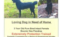 2.5 year old Pure Bred, Registered, Intact female Bouvier des Flandres . Extensively Protection Trained. Fantastic companion for a serious and experienced handler. Very affectionate and loyal. This is a serious dog and not a pet!  Proven handler skills