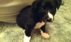 Hello there! We have one beautiful male border collie pup ready to go by December 21 or thereafter; He is dewormed & has had his first set of shots. Border Collies require an active life-style and plenty of interaction from owners.; They are not the type