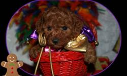 We have Beautiful Tiny Toy Poodles! They will be 3-5 lbs full grown! Apricot ! These puppies have age appropriate vacc. and are Ready Now for their forever homes! $850.00 + Tax Also Beautiful Mahogany Red Toys!! Ready for Xmas!$950.00 + Tax. They will be