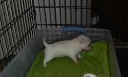 I have 2 MalChi's ( Maltese and Chi cross) for sale. One Boy and one female.The female is pure white like a Maltese with the Chi head super cute and the boy is tri colored and both will have the long maltese hair so will be non shedding. They are