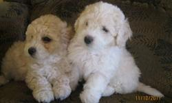 2 Male Bichon Poos Available. Puppies come with 1st shots, dewormings 3x, Vet Check & Health Certificate signed by my vet. These puppies are non shedding and non allergenic. Mother is a White Bichon, and the Father is a Toy Apricot Poodle. These puppies