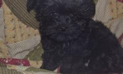 I have an ADORABLE puppy who is now looking for his FOREVER HOME! He is a pure black Yorkie Poo and should get to be about 4 lbs. His mother is a CKC Registered Red Tiny Toy Poodle and his father is an AKC Registered Silver Tiny Toy Yorkie. SERIOUS