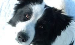 Blue is a large white and black male border collie. He is 7 years old and is very friendly. He is good with kids and loves to play. We live on a farm and he is not good with cats (chases and plays too hard with them) so we need to find a good home for