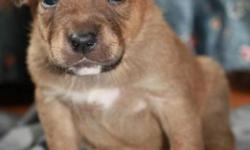 Breed: Labrador Retriever American Staffordshire Terrier   Age: Baby   Sex: M   Size: L Yvette's puppies will be available for adoption January 11th, 2012.     They will have their first set of vaccines, dewormed, and microchipped.     Their adoption fee