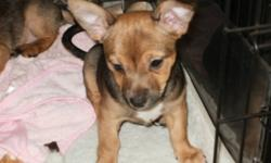 300 O.B.O.-FAMILY RAISED PUPS 1 M.& 1.F-IN OUR HOME NOT A KENNEL ,READY TO GO THEY HAVE THEIR 1ST NEEDLES,VET CHECKED,DEWORMED,HANDLED INTERMITENTLY THROUGH-OUT THE DAY,SOCIALIZED WITH CHILDREN,PETS,PAPER TRAINED ,THEY CURL UP IN A CRATE TO SLEEP WITH THE