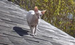 hypo~allergenic non~shedding indoor cat for sale this exotic peterbald has webbed feet, which make him capable of playing catch and fetch with paper balls, twist ties etc...he is a very curious companion with a supper soft grey velour coat, green eyes the
