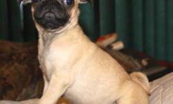 I have Just one fawn male pug pup, he has had his 4 way and a booster, he has also been vaccinated for bordertella, and been dewormed, this boy is energetic and playful, he loves other dogs and kids... he has a small  umbilical hernia (might go away on