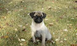 Cute, cuddly and loves people.  Purebred fawn parents. Very good with children, handled lots. Working on training. 780-922-0092 $600