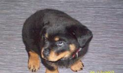 1 Male Rotti pup left. Tail and dew claws removed, 1st shots done. He is pictured at 8 weeks old. Quite the personality. We have both parents. Mom is from Roman Empire Rottwieler's out of LaDuc Alberta. If interested e-mail or phone Mike or Debbie