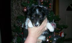 Very outgoing, white factored, Tri coloured male sheltie White collar and white all the way up hind legs Sold with non breeding CKC registration  wormed dew claws removed first shots and is chipped. Very good looking but has 2 small white spots on his