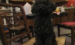 Charles is an easy-going dog who likes people. He has been raised with other pets and children and is a great companion. He can be sold as part of a breeding pair of poodles or singly.