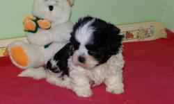 Malshi puppies born: Nov. 19th.  Both parents are Shih Tzu x Maltese, mother is 8 lbs.  father is 10 lbs.   Two male puppies available, both have really nice markings and are playful, healthy puppies.  Non-shedding, Great for home or apartment living.