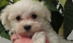 Two totally cute, playful, healthy, happy maltese puppies looking for their forever homes. Non-shedding, hypogenic.  Dad is a 5lb maltese and mom is a 6lb maltese, both are very sweet natured & wonderful family companion dogs. Puppies raised in our home,