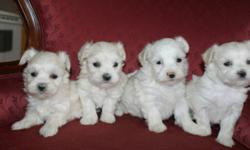 We are taking down payment on these sweets tiny purebred Maltese puppies; they are non-shedding and hypoallergenic, 1 girls and 1 boys left, they will be ready to go for there new home January 20, 2012, puppies up to date on shots and de-wormed; come with