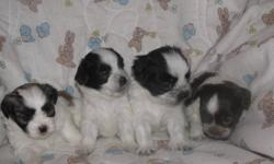 Hi We have 4 adorable Maltese/Shih-tzu puppies for sale. The puppies are being raised in our home with the mom and dad as our pets. They are hypoallergenic, non-shedding, will grow to be 8 to 10 pounds and will be vaccinated and dewormed.Currently we have