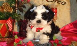 """We have only one male """"OREO""""who is still available to a loving home. Oreo is very sweet and loves to play. He is hypo-allergenic and non-shedding. He should reach a mature weight of approximately 5-7 pounds. The mother and father have excellent"""