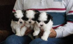 TWO FEMALES still available;    updated November 30;    The are both small & adorable;   White with brown markings;   Dark mask or patch over one eye;   Family raised with lots of love;   Born October 5, 2011;   Non-shedding, hypo-allergenic;   Small