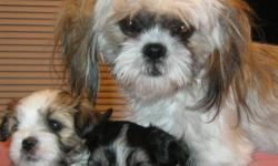 3 males and 2 females, Maltese/Shih Tzu puppies. Vet checked, 1st vaccines and dewormed, parents on site. Puppies will be ready to go second week in January. Come visit, get to know your puppy before taking he or she home. Comes with puppy food, toys, and