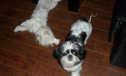 Lady and Bindy my sweet dogs looking for a good home , very friendly with kids and other dogs , they love play and walk , they are together same glue Lady is maltese Bindy is shihtzu Both are pure breed Lady have microchip and international ID comes with
