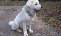I have had my dog for about a year now. For me he is a very good dog, his name is Bolt and he's just over a year old and i love him to bits!  He is not good with srangers and has attached a couple times. I did research and these big dogs and they shouldnt