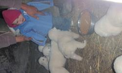 Maremma puppies for sale.  Four males and two females.  Available to go now.  Great for a farm dog, livestock protection, or pet.  Raised  with sheep, mother is a trained LGD (livestock gaurdian dog).  Vet checked, first shots, and dewormed.  Please call