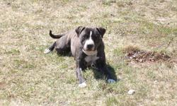 mother is mastiff cross valley and father is pure breed boxer very good with children and other pets very people friendly and mainly housebroken for more information please call 681-5816 first picture is the mother