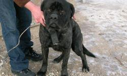 We have a 2 year old male mastiff for sale he is reverse brindle in color.