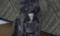 HAVE A BEAUTIFUL LITTER OF MASTIFF PUPPIES READY TO GO TO FOREVER HOMES ON  FEBRUARY 6TH MAKE AN APPOINTMENT TO COME AND PICK YOUR PUPPY. THEY ARE VET CHECKED 1ST SET OF SHOTS AND DEWORMED , TAILS AND DUE CLAWS ARE DONE, THESE ARE TRUE BLUE'S NOT BLUE