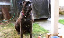 Mastiff X Pups--1 brindle Female,1 fawn Female.  $75.00  Pictures #1 and 2 are a 16 month old from last years litter (born July 7th/2010,and he lives in Honeymoon Bay,Vancouver Island --I had a phone call from the owner the other day,he now weighs