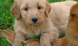 7 GoldenDoodle Pups Available - 2 Girls and 5 Boys.   Saturday Update: 4 Males Available.   Golden Doodle Puppies are becoming the #1 Selling Family Pet because of their low to no shedding, allergy friendly, wavy coats.    Our Doodles are First Generation