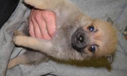 ARE YOU LOOKING FOR A WSWEET PUPPY TO CALL YOUR OWN? OR EVEN GIVE AS A CHRISTMAS PRESENT? I HAVE 5 CUTE ADORABLE PUPPIES FOR SALE 3 FEMALE (ONE THAT LOOKS LIKE A POMERAINIAN (pic5)AND THE OTHER 2 ARE SHORT HAIRED(pic1,2,3) 2 MALES (ONE DARKER BIG