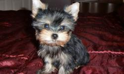 Hi, Meet Annabella, a very tiny Yorkshire Terrier who won't weigh more than 3 1/2lbs. full grown. She has been to the Vet and is perfectly healthy so she is ready to go. JUST IN TIME FOR CHRISTMAS! I will be happy to deliver.   Annabella is a lovely