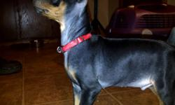 I got 1 black tan boy.  His tail is cropped with 1st shots done, house trained and ready to go. Any inquiries email or call 807-629-0824.   Pic- Damien-Mel (Boy)