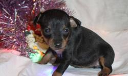 Ambers puppies need a home. We have 7 puppies: 3 female 4 males. Dad is a reg. Min Pin and both Mom (min pin not reg) and Dad can be seen. Puppies will be 7 weeks Dec 25. Please call for more info. 434-5088 Ask for Cari or Riley