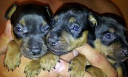 Red female min pin (registered akc) and black and tan male min pin (registered ckc) are the parents. Puppies aren't born yet so I'm not sure of the colours, usually they are black and tan. Great valentine's gift! **pictures are from the last litter.