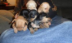 7 Minature Pinschers for sale 3 Males 4 Females Born on Octobers 19 (17 days old today) Tail docked, dew claws removed Will come with first shots and vet check First 3 pictures are from today 4th picture is with the mother the day they were born 5th