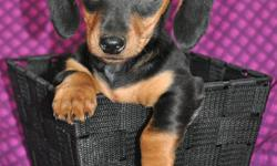 2 little girl Doxies are ready to be adopted into their new families!  They are sweet and playful pups!  1st vaccinations, dewormings and health guarantee included.  1 Female Smooth Black & Tan 1 Female Smooth Dapple (ADOPTED!)