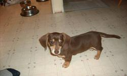 Chocolate and tan mini dachshund male puppy ready to go to his new home. He has his first vaccination and is dewormed. Comes with a puppy pack and health record.