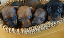 Mini Dachshund puppies 2 males  1 female ready for there forever homes on 8th november , pups will be vet checked and have first set of shots, parents are our house pets well socialized great with children and other animals,  pictures 2,3,, are of the