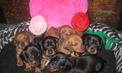 PLEASE NOTE *Price is NOT NEGOTIABLE* Born CHRISTMAS DAY available the week of VALENTINES DAY!! Two (2) Female black and tan - Vixen and Holly Three (3) Male red - Dascher, Tinsle, Gingy Two (2) Male black and tan - Kringle, Jingle Mother is a smooth